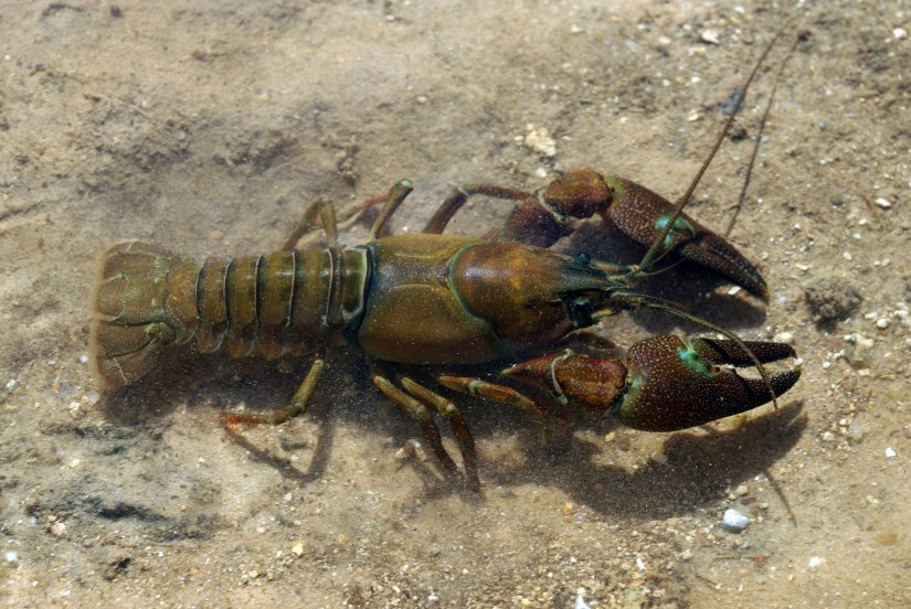 Signal crayfish