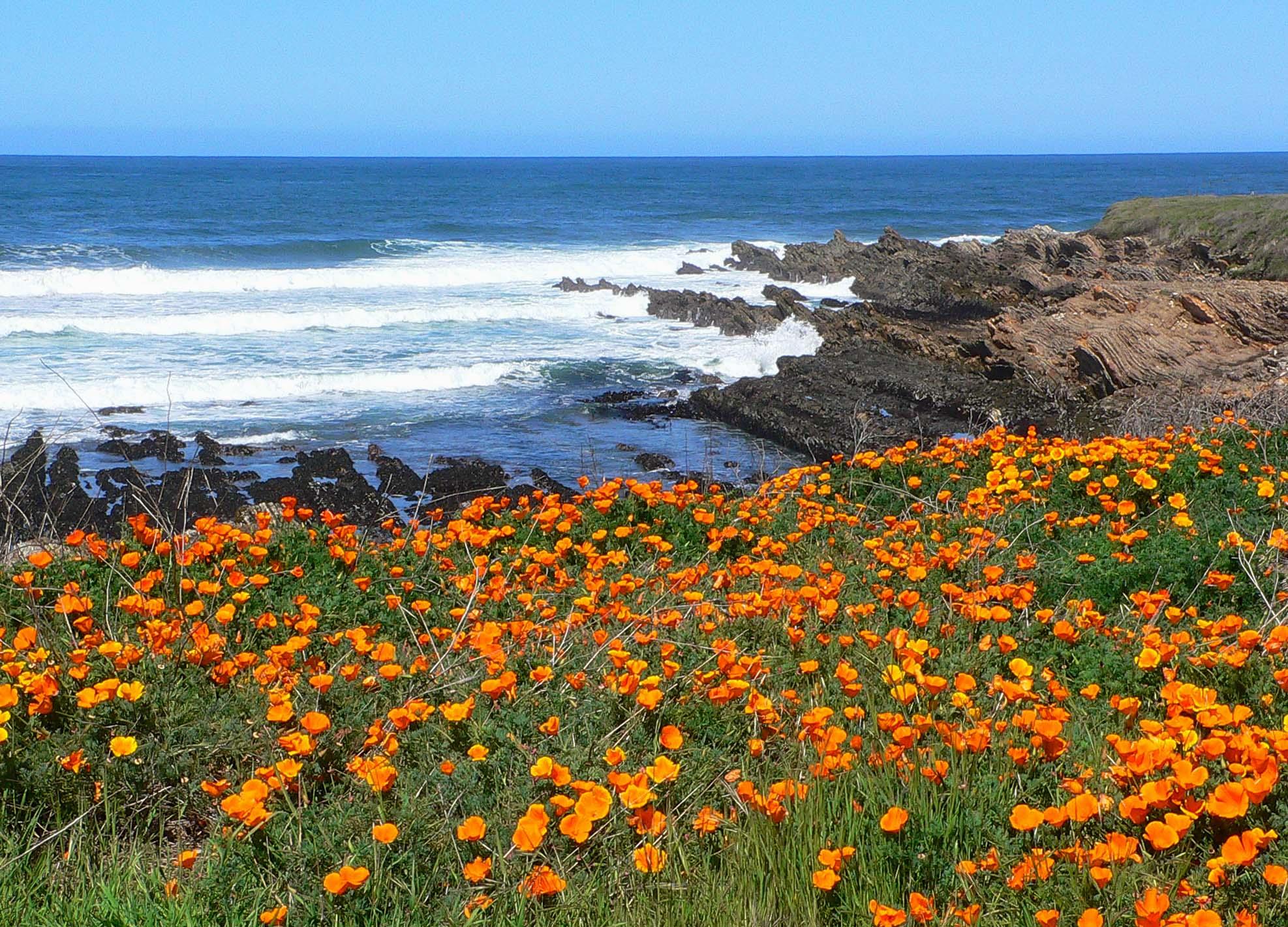 California poppies, California