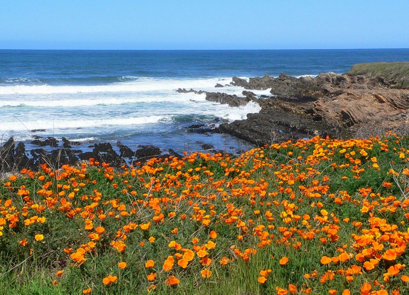 California poppies, California
